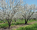 Cherry Orchard Blooms