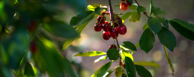 cherry-facts1